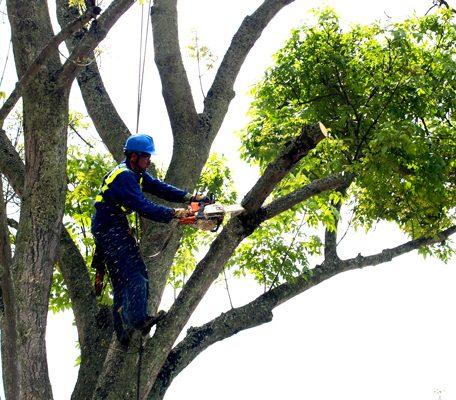 obžagovanje dreves